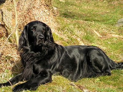 Flat-coated_Retriever_Molly